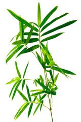tige de bambou, fond blanc