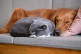 Golden Retriever sleeps with the cat - 188488327
