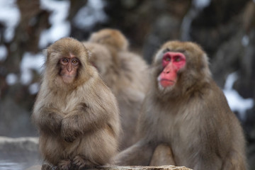 Snow Monkeys at Jigokudani Snow Monkey Park, Nagano, Japan