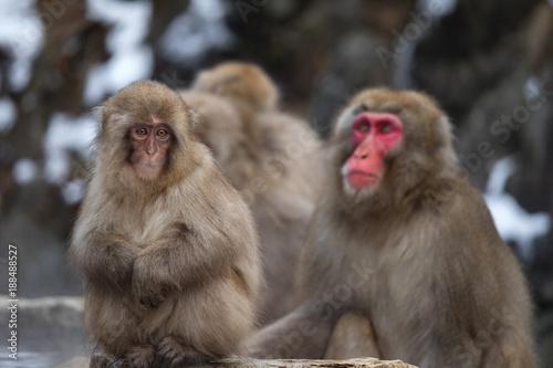 Fotobehang Aap Snow Monkeys at Jigokudani Snow Monkey Park, Nagano, Japan