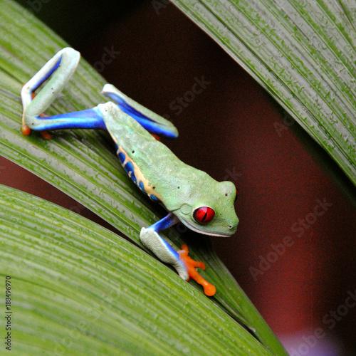 Foto Murales Costa Rica grenouille vert