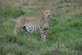 guépard leopard felin animaux Afrique