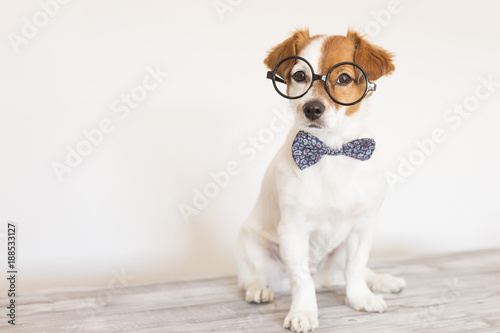 Cute Young Small White Dog Wearing A Modern Bowtie And Glasses