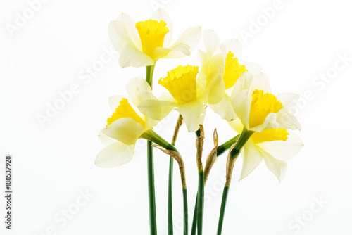 Foto Murales fresh narcissus flowers