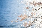 琵琶湖と桜 - 188540311
