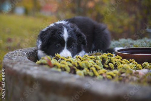 Tuinposter Gras puppy border collie in autumn lying