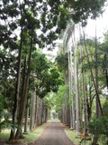 Palmenallee im Park, Pampelmousse, Mauritius - 188550980