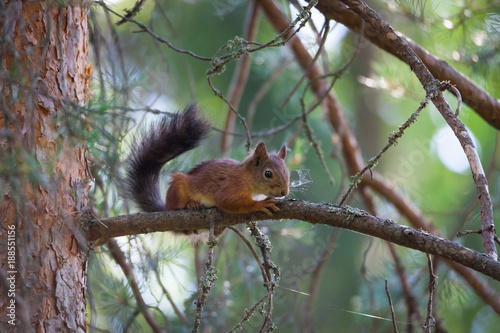 Foto Murales Young squirrel on tree branch at summer day