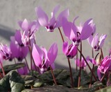 Purple Cyclamen Spring Flower © Johnny