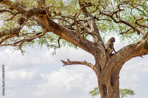 Vulture scavenger posed at the top of an acacia in the park of Masai Mara in North West Kenya