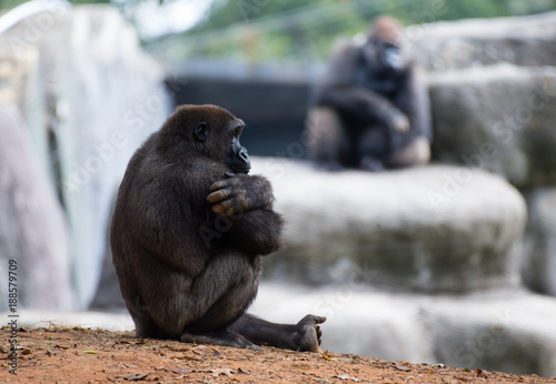 Poster Western Lowland Gorilla Arms Crossed Relaxing