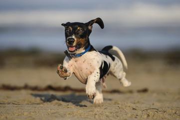 Miniature Dachshund outdoor portrait running on beach