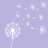 white dandelion seeds wind summer flying fluffy illustration on a light purple background vector