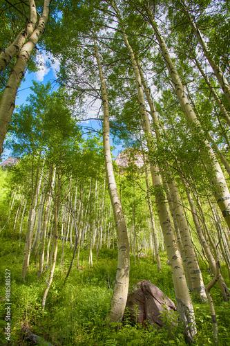 Fotobehang Berkenbos Aspen Trees