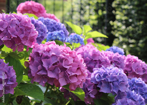 In de dag Hydrangea Beautiful blue and pink Hydrangea macrophylla flower heads in the evening sunlight.