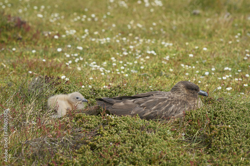 In de dag Antarctica Adult Falkland Skua (Catharacta antarctica) with chick in a meadow on Bleaker Island in the Falkland Islands.