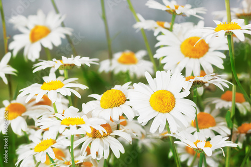 Flowering.  Blooming chamomile field, Chamomile flowers. - 188605582