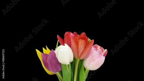 Time-lapse of opening colorful tulips bouquet 3x1 in a vase in PNG+ format with ALPHA transparency channel isolated on black background