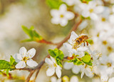 White cherry flowers on a blue sky, Honey bee flying - Spring abstract scenes.