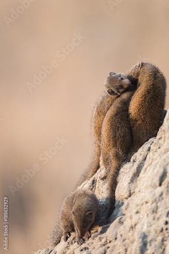 Mongoose on termite mound