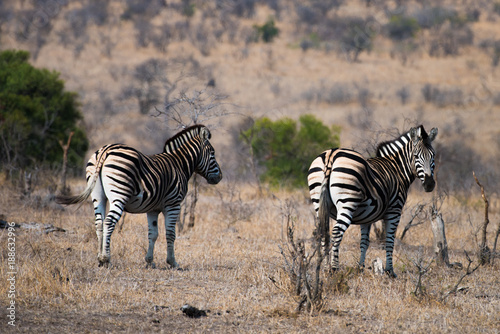 Fototapeta Zebra on bush veld