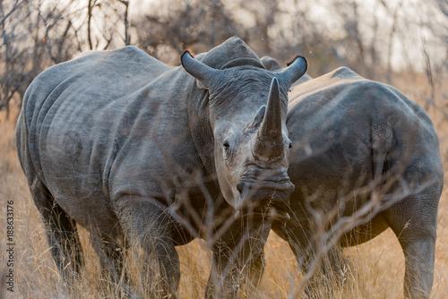 Fotobehang Neushoorn Pair of white Rhino in bush