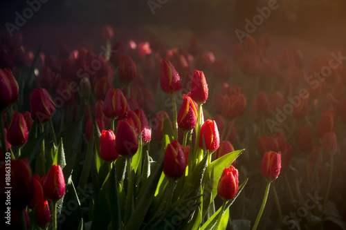 Fotobehang Tulpen Low key of red tulip garden with drop of water and the mist