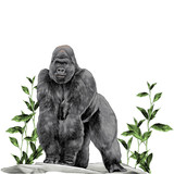 a gorilla stands on all fours on the stone in the grass with leaves sketch vector graphics color picture - 188633976