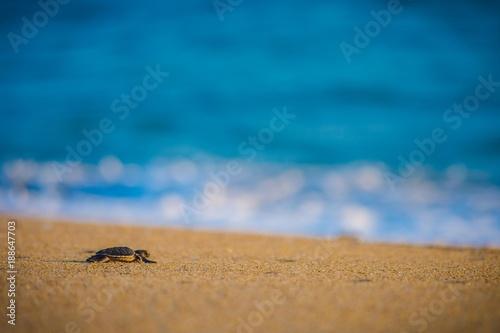 Tortuga marina bebé en camino al mar.
