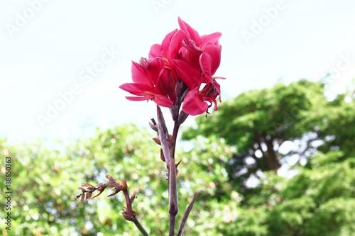Fotobehang Plumeria Indian shot, Canna in Thailand