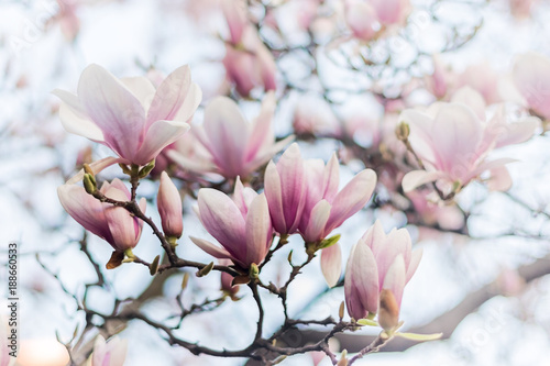 Fototapeta Beautiful magnolia, bud in selective focus on the pink background Beautiful blossoming magnolia on blue sky background. Spring, floral greeting card