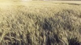 AERIAL: Low flight over wheat - 188672994
