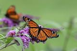 Viceroy butterfly. - 188700521