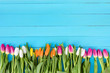 Beautiful tulips on a blue background