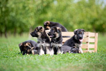 German Shepherd puppy playing on green grass