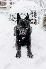black sheepdog in the snow