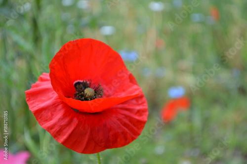 Poppy - 188713185