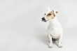 Studio portrait of the licking funny dog Jack Russell Terier on the white background