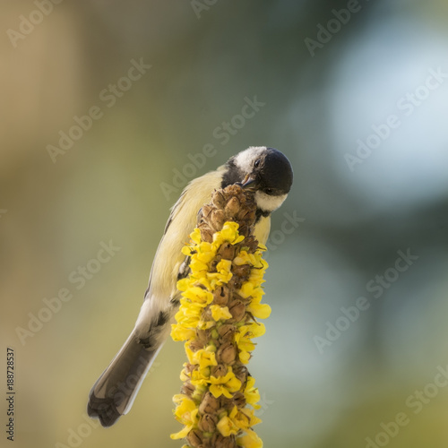 Foto Murales great tit holding on to a yellow flower