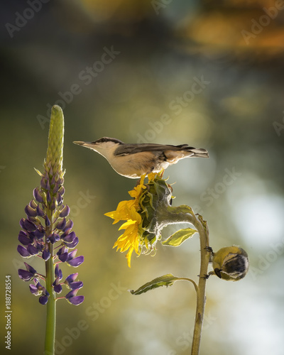 Foto Murales nuthatch and great tit standing on a sunflower