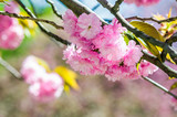 closeup of pink flowers with shallow depth of field on the branches of Japanese sakura  bloomed  in spring green garden blurred background - 188728935