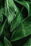 Macro photography of fresh sage. Concept of organic food. - 188728967