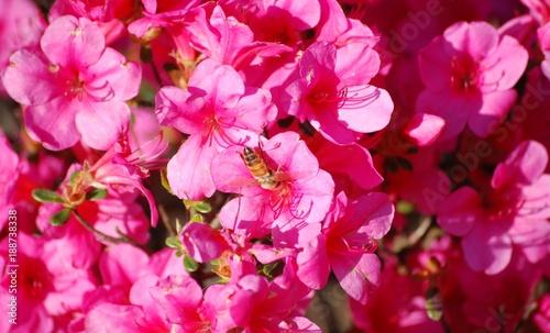 Plexiglas Roze azalea con ape