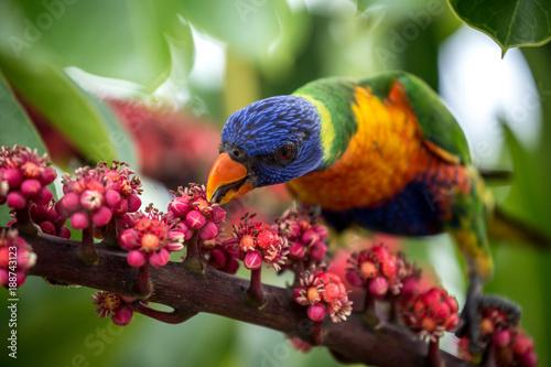 Fotobehang Papegaai Rainbow Lorikeet 3