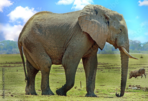 Afrian Elephant (Loxodonta Africana), standing on the dry open plains with a warthog in the background in South Luangwa National Park, Zambia, Southern Africa