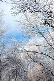 bottom view of trees covered with snow in forest