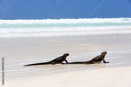 Iguane marin des Galapagos - 188752370