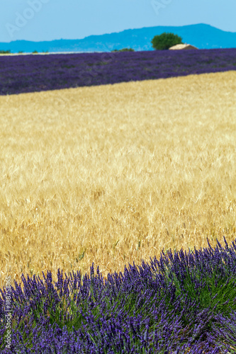 Foto op Canvas Aubergine lavender in provence