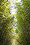 bamboo forest in the morning