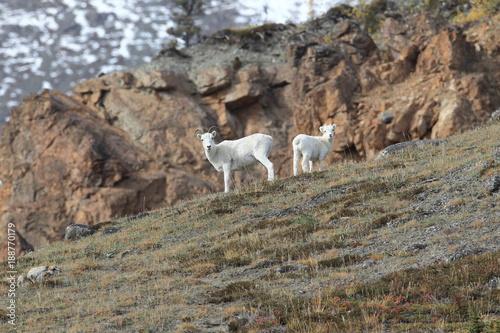 Foto op Plexiglas Cyprus Dall Sheep (Orvis dalli)Sheep Mounten Alaska